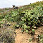Prickly pear cactus AHL kelly school trail