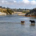 san elijo lagoon mouth two dogs water