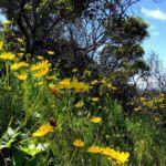 sea dahlia san diego native plants