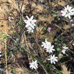 three spot san diego native plants
