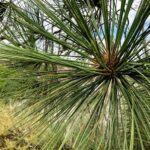 Torrey Pine Tree Needles Bundles Five