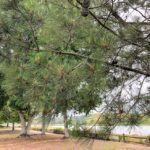 Torrey Pine trees agua hedionda lagoon