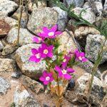 Zeltnera venusta california centaury native plants