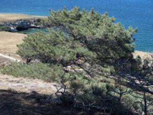 1024px Torrey Pine at Santa Rosa Island wikimedia commons
