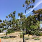 aliso rest area torrey pine trees west facing