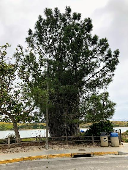bayshore dr torrey pine tree carlsbad ca