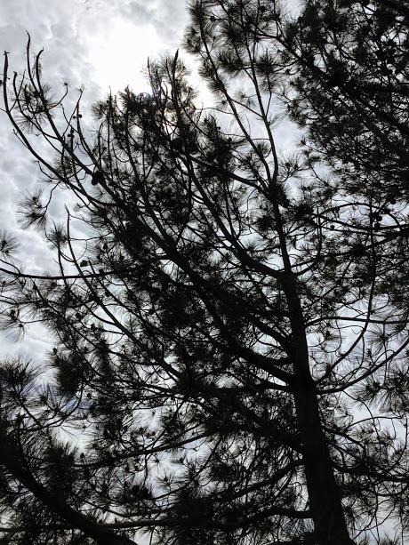 Buena Vista Lagoon torrey pine trees