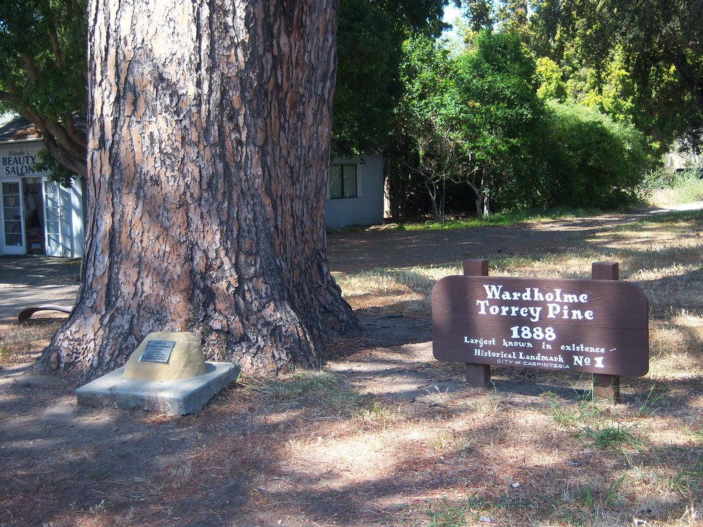 Carpinteria torry pine tree trunk information sign