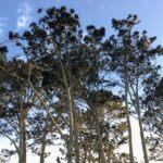 Cave Store Torrey Pine Trees la jolla