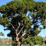 De Anza Cove torrey pine tree mission bay
