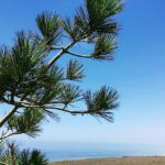 las flores viewpoint torrey pine tree needles