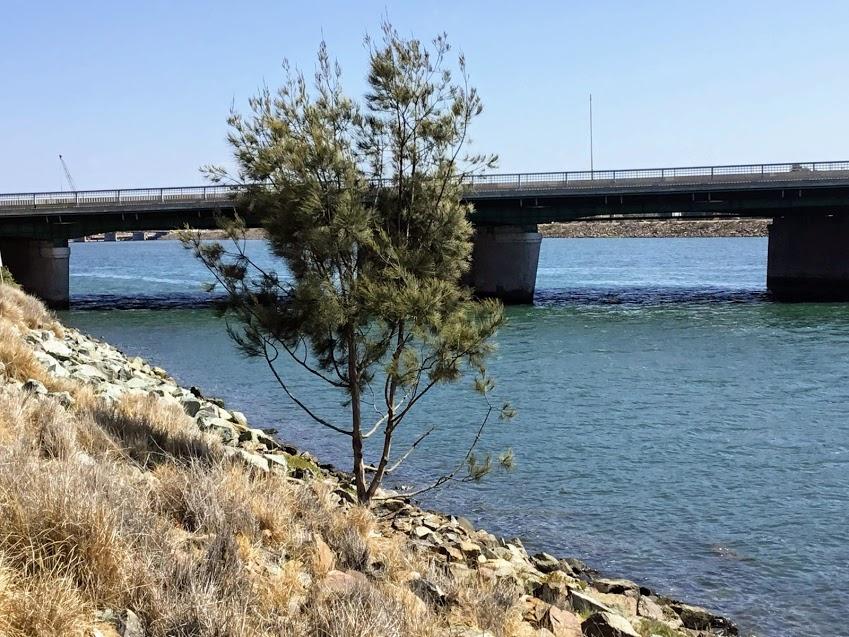 San Diego River Torrey Pine Tree