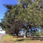 San Diego River Trail Torrey Pine trees