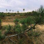 torrey pine carlsbad closeup needles