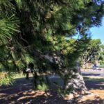 Torrey Pine tree de anza cove mission bay