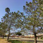 Torrey Pine tree San Dieguito Lagoon Del Mar CA