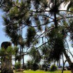 torrey pine tree swamis state beach encinitas