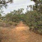 torrey pine trees rows carlsbad Ca