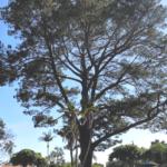 Wardholme torrey pine tree carpinteria santa barbara county