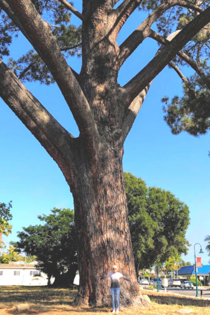 Wardholme torrey pine tree july carpinteria