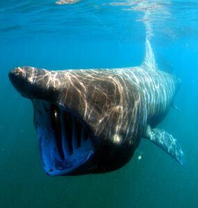 cetorhinus maximus by greg skomal basking shark