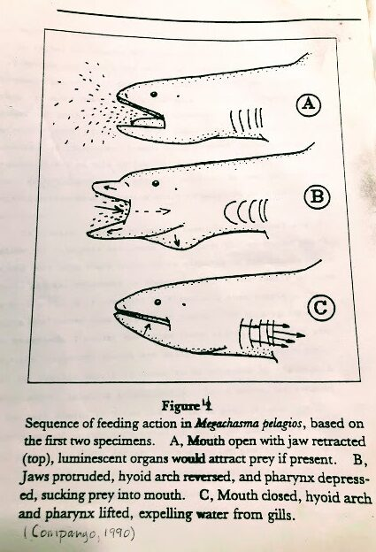 figure 4 megamouth shark