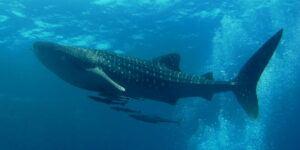 whale shark lamniformes
