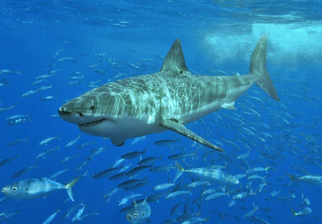 white shark lamniform