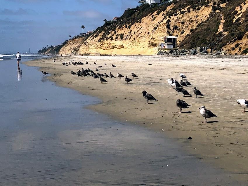 stonesteps beach birds encinitas beaches