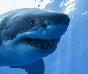 Guadalupe Island great white shark face