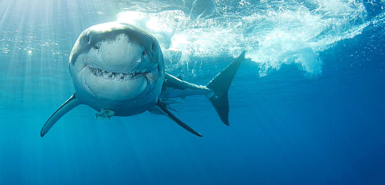 great white shark smiling san diego
