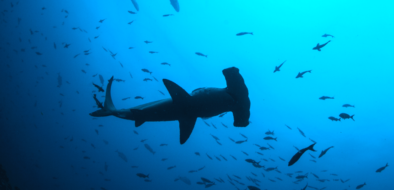 hammerhead shark san diego shark sightings