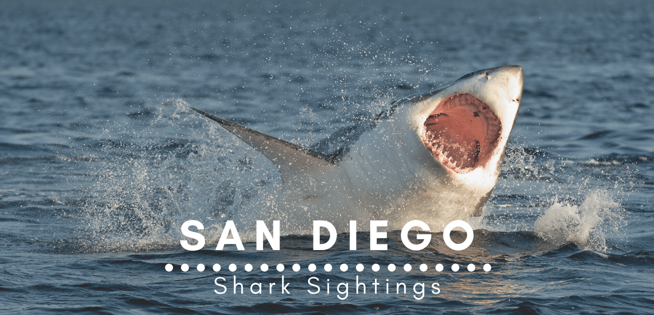 San Diego Shark Sightings Featured Image