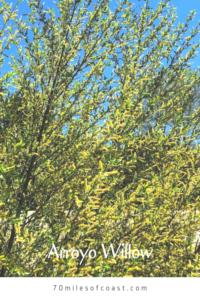 arroyo willow bush southern california native plants