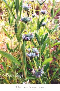 Black Sage Flowers pechanga creek trail