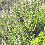 Black sage plant pechanga creek temecula