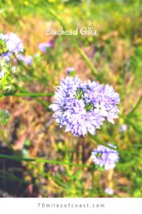 Bluehead Gilia southern california native plants