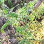 Branching Phacelia June southern California native plants