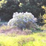 Calif lilac southern california native plants