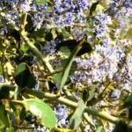 Calif lilac temecula southern california