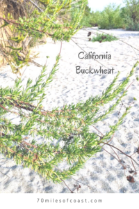 California Buckwheat growth pechanga creek temecula