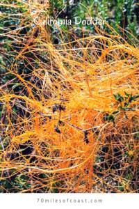 California Dodder southern California native plants