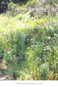 California Everlasting flowers meadow