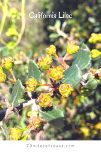 california lilac thorny branch