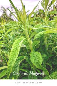 California Mugwort plant san diego native plants