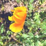 California poppy flowers temecula pechanga creek