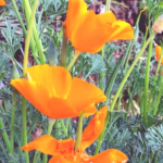 California poppy flowers orange green stem