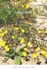 California suncups temecula pechanga creek