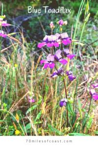Canada Toadflax flowers temecula creek inn trail