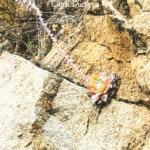 chalk dudleya cliff endemic native plant